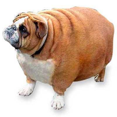perro-gordo